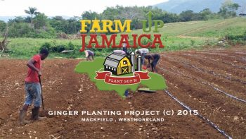 Farm Up Jamaica | Ginger Planting Project (c) 2015 | APS Columbian Films