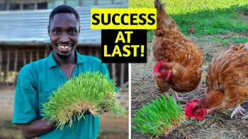 CHEAP CHICKEN FEED | I Grew PERFECT Fodder for My Chickens