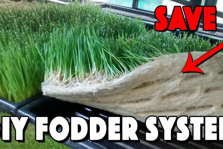 Fodder For Chickens! How To Build A Fodder System And Save Money!