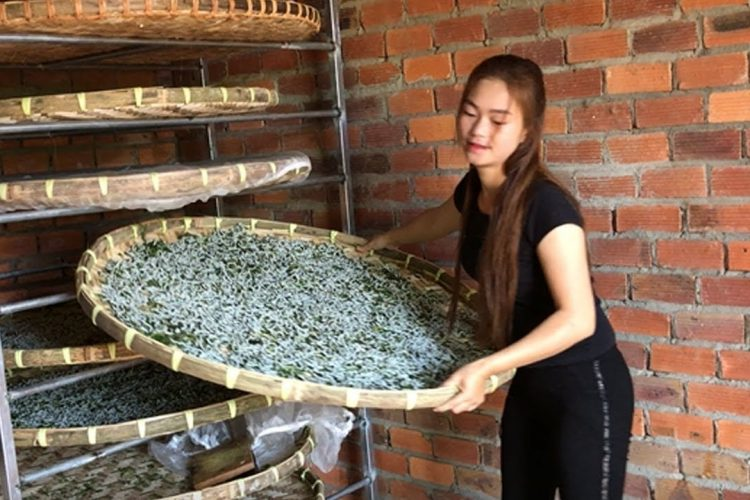 I am raising silkworms according to the traditional method